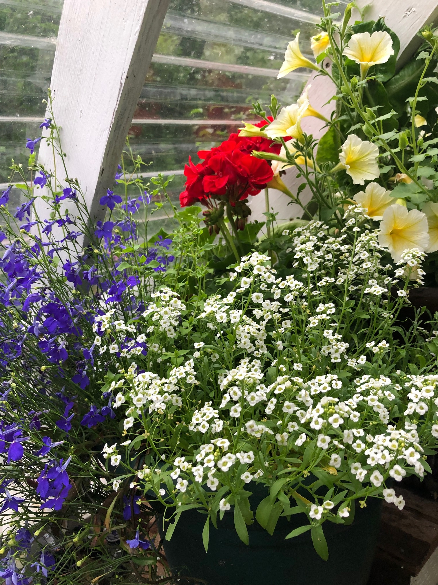 Red, white, blue & gold flowers in a greenhouse