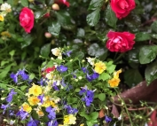 Dainty double impatiens crown blue and gold flowers